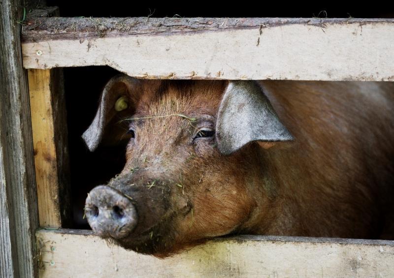 Duroc-Schwein aus Surheim