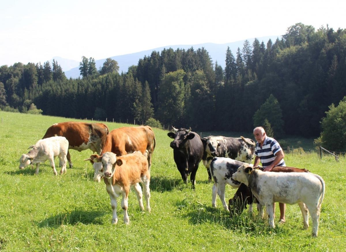 Ausgedehnte Wiesen zum Grasen und genügend Platz zum Unterstellen im Wald: das haben die Mutterkühe und Kälbchen von Bio-Bauer Hans Koch aus Holzhausen, der bereits vor mehr als zwanzig Jahren auf ökologische Bewirtschaftung umgestellt hat und die heimische Gastronomie mit Bio-Kalbfleisch beliefert.