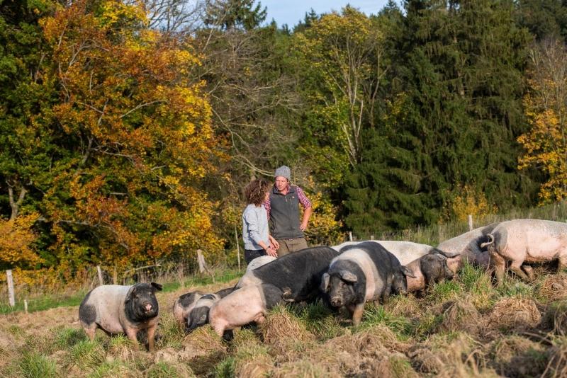 Die schwäbisch-hällischen Landschweine haben eine große Weide zur Verfügung.