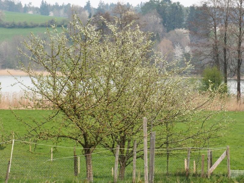 Aufblühende Bäume auf der Obststreuwiese bei Au nahe Taching.