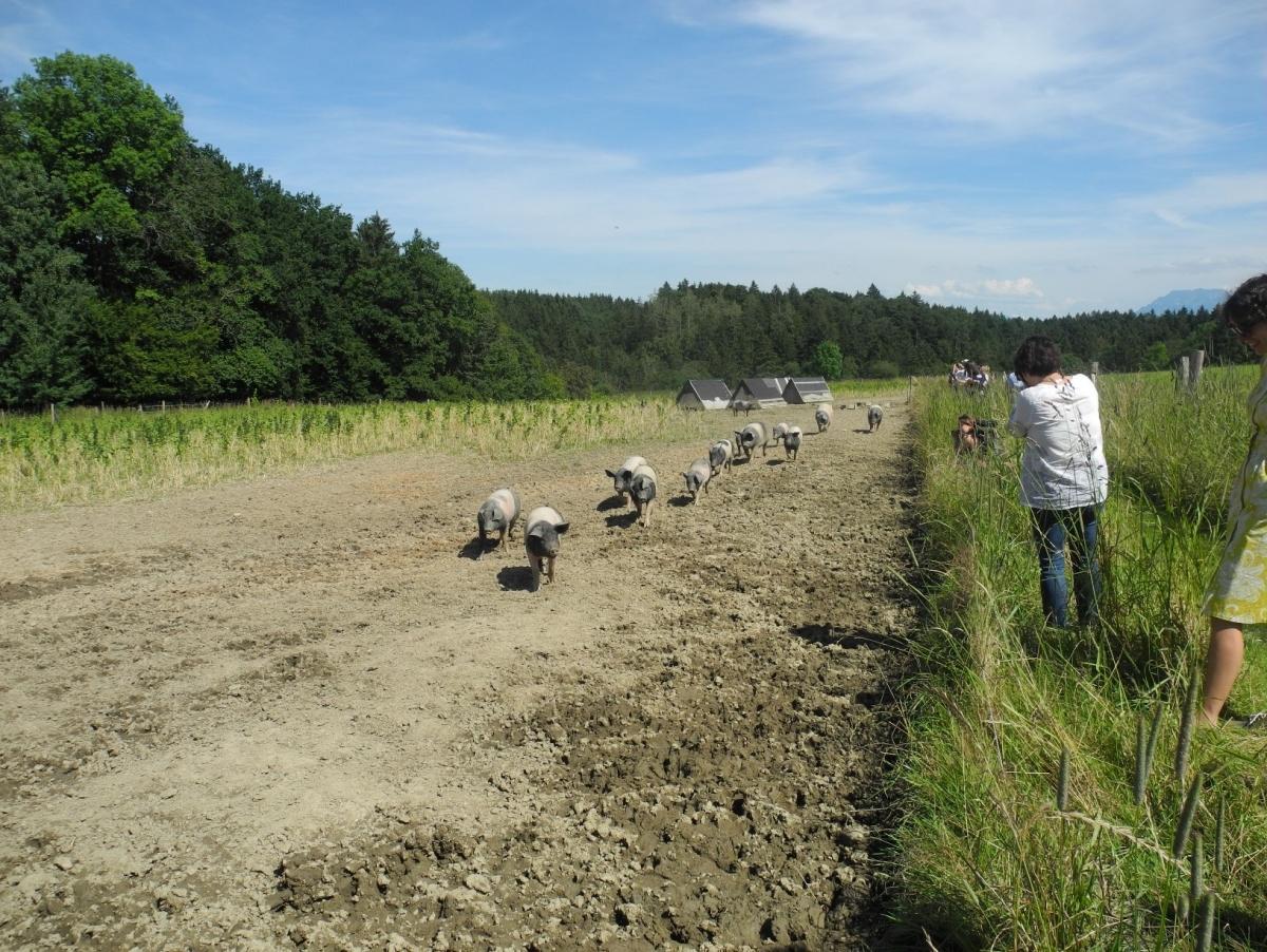 Einen Teil ihrer Weidefläche haben die Schwäbisch-Hällischen Landschweine schon umgegraben; im Hintergrund links eine Futterwiese.