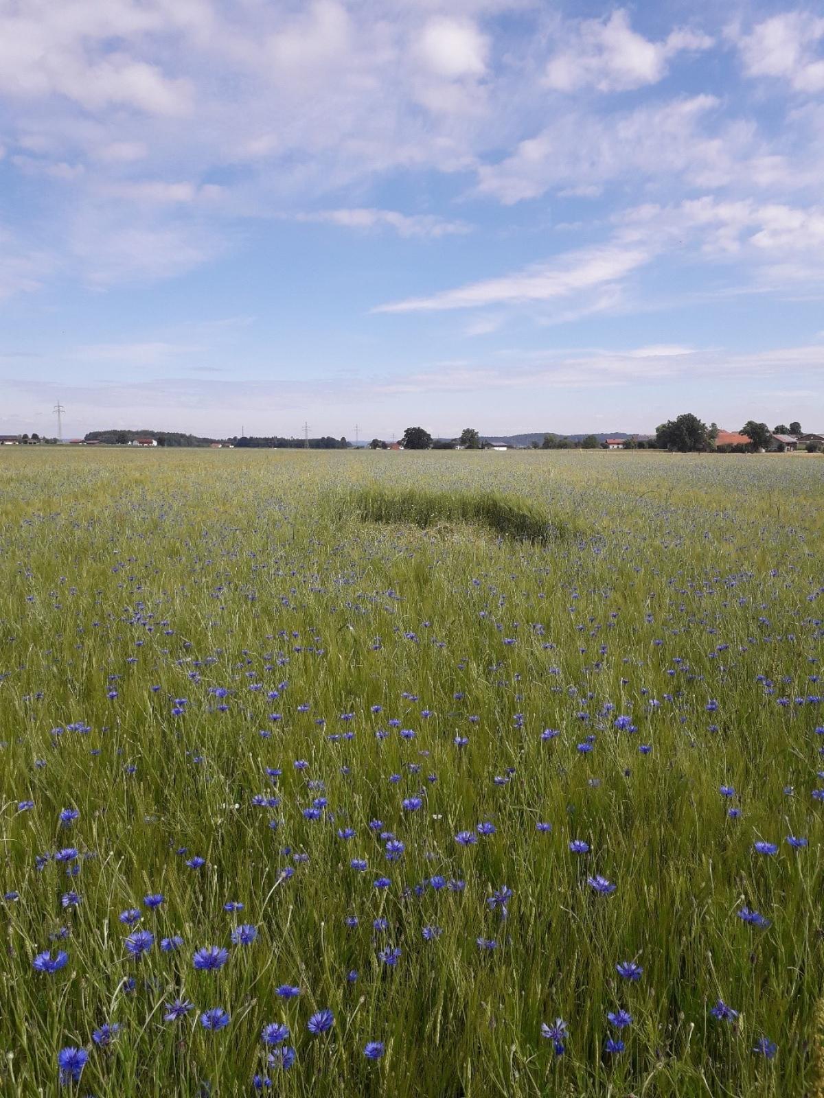 Mitten in ihren Kornfeldern haben die Landwirte die Lerchenfenster angelegt.
