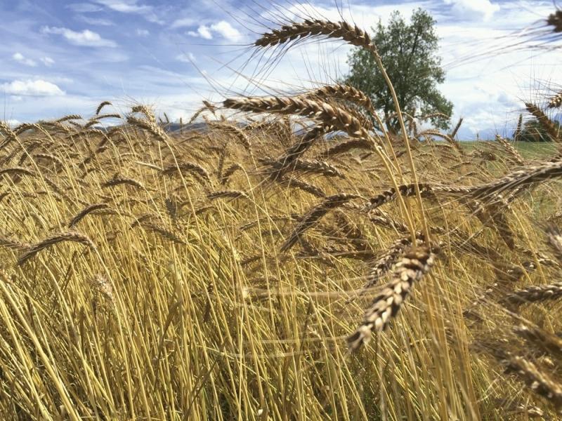 Der langstielige Laufener Landweizen hält das feuchte regionale Klima gut aus, schmeckt und ist gesund.